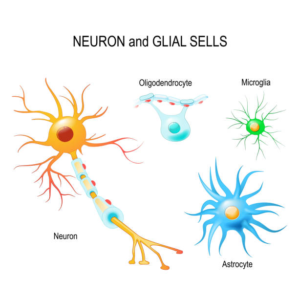 Cells of human's brain. Neuron and glial cells (Microglia, astrocyte and oligodendrocyte) Cells of human's brain. Neuron and glial cells (Microglia, astrocyte and oligodendrocyte). Vector diagram for educational, medical, biological and science use neural axon stock illustrations
