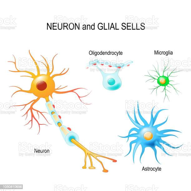 Cells Of Humans Brain Neuron And Glial Cells Stock Illustration - Download Image Now