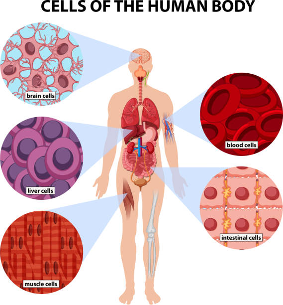 an overview of the impressive process of differentiation in a human body cells Classroom activity for the nova program nova sciencenow: stem cells cell in the human body embryonic stem cells retain differentiation process.