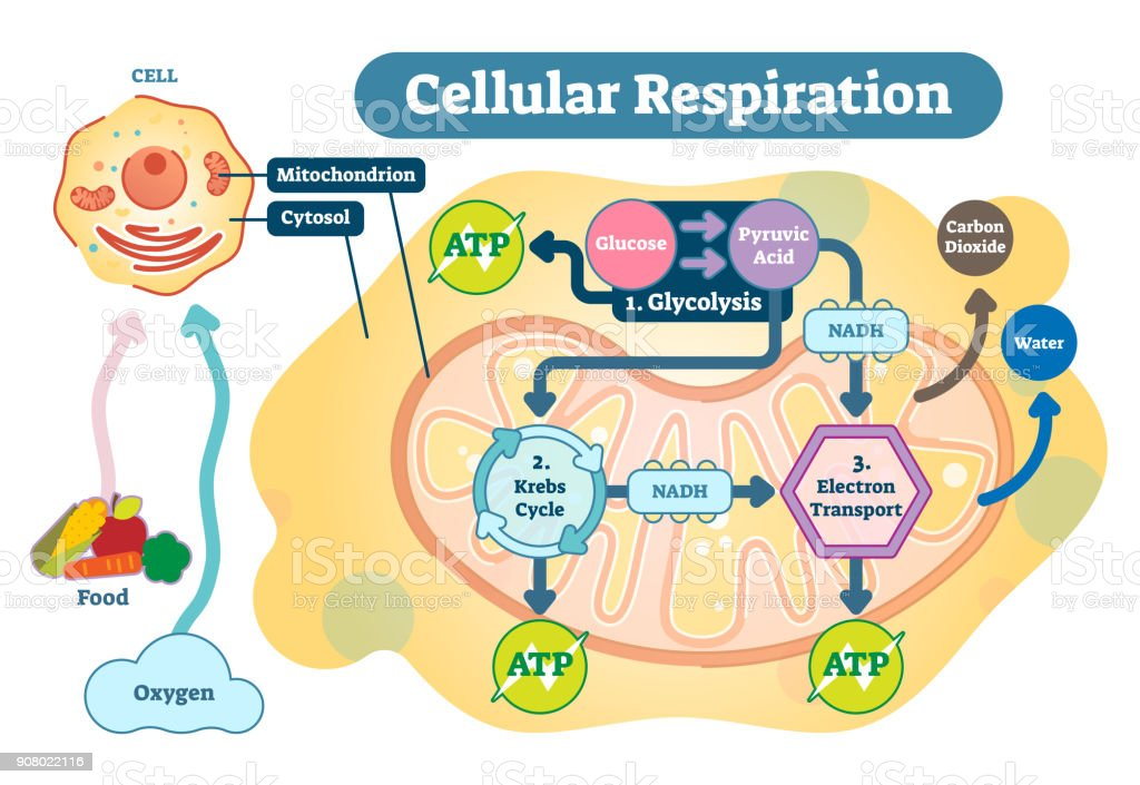 Cellular Respiration Medical Vector Illustration Diagram Respiration