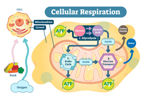 Cellular respiration medical vector illustration diagram, respiration process scheme. Cellular respiration is a set of metabolic reactions and processes that take place in the cells of organisms to convert biochemical energy from nutrients into adenosine triphosphate (ATP), and then release waste products. mitochondrion stock illustrations