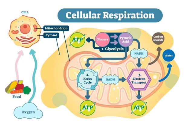 zellatmung medizinische illustration vektordiagramm, atmung verfahrensschema. - stoffwechsel stock-grafiken, -clipart, -cartoons und -symbole