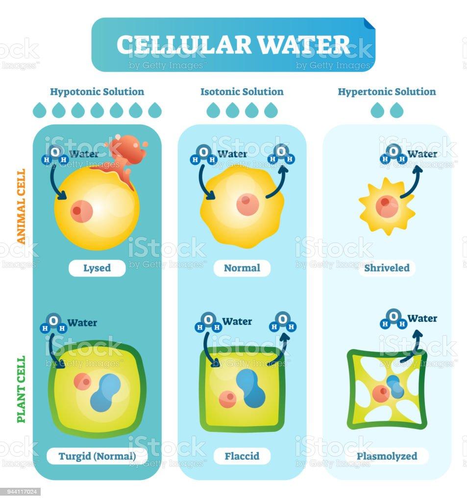 Cellular Water Levels Biological Vector Illustration Diagram With ...