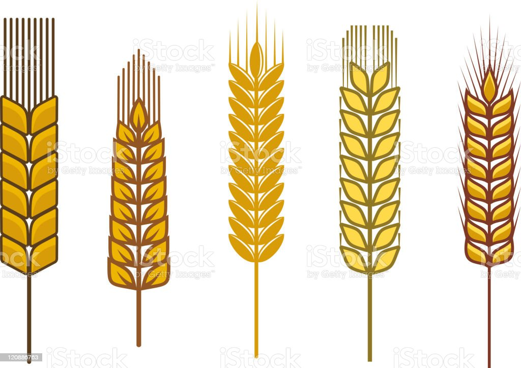 Cereal ears royalty-free cereal ears stock vector art & more images of agriculture