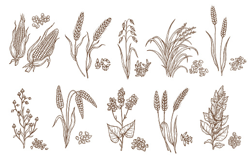 Cereal grain and plant isolated sketches of agriculture harvest and food vector design. Seeds of wheat, oat, barley and corn, rice, buckwheat, rye, quinoa and sorghum with ears, maize kernels and husk