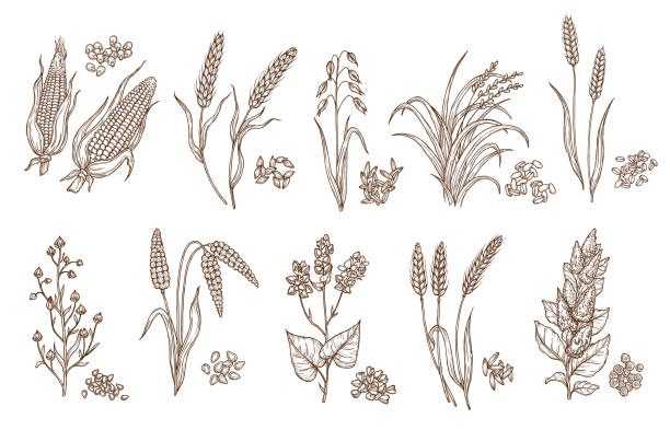 Cereal plant grain and seed isolated sketches Cereal grain and plant isolated sketches of agriculture harvest and food vector design. Seeds of wheat, oat, barley and corn, rice, buckwheat, rye, quinoa and sorghum with ears, maize kernels and husk spelt stock illustrations