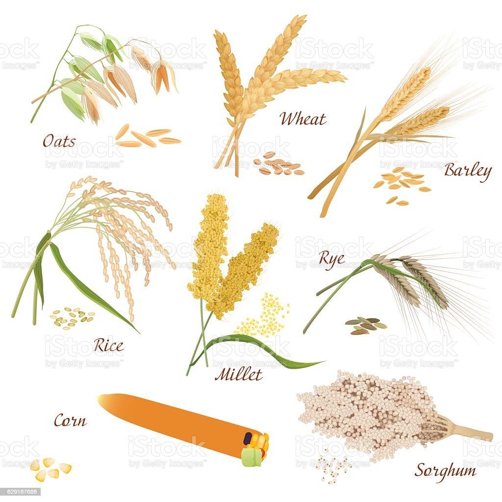 Cereal Plants vector icons illustrations. Oats wheat barley rye millet vector art illustration