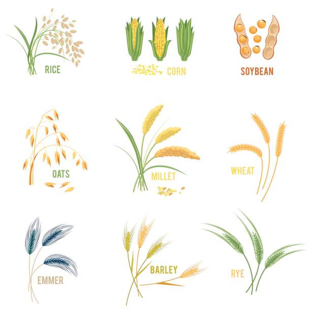 Cereal Plants vector icons illustrations. Cereal Plants vector icons illustrations. Isolated symbols of wheat and rye ears, seeds and oat or barley millet with rice sheaf. Concept for organic products label, harvest and farming, grain, bakery corn crop stock illustrations