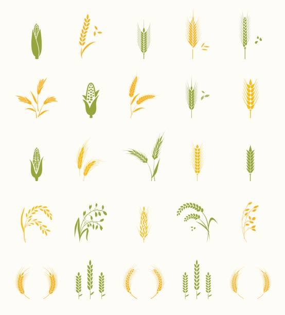 Cereals icon set. Cereals icon set with rice, wheat, corn, oats, rye, barley. Concept for organic products label, harvest and farming, grain, bakery, healthy food. corn crop stock illustrations