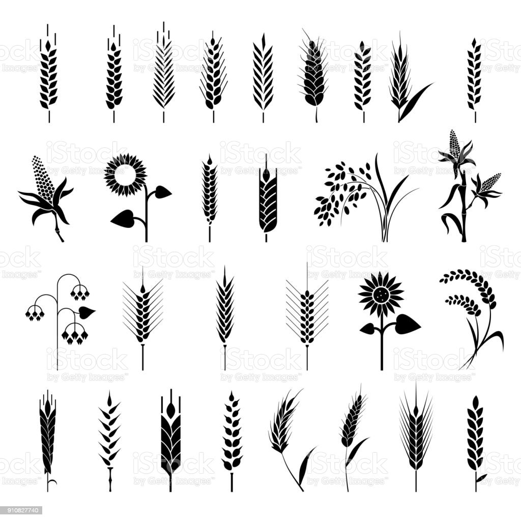 Cereals icon set with rice, wheat, corn, oats, rye, barley. vector art illustration