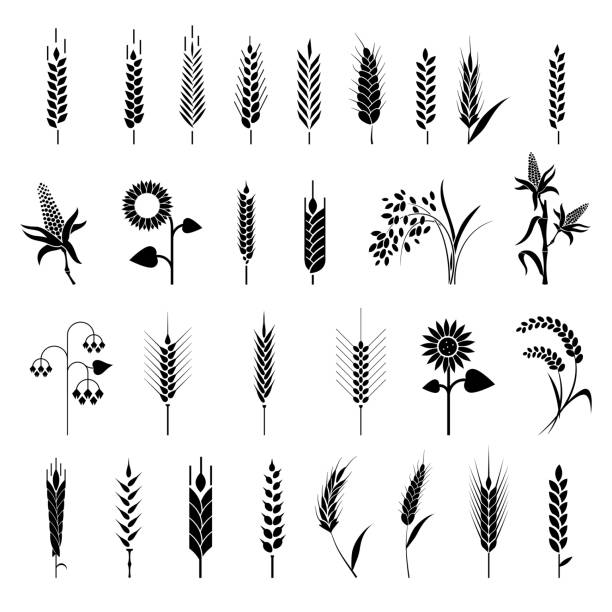 Cereals icon set with rice, wheat, corn, oats, rye, barley. Cereals icon set with rice, wheat, corn, oats, rye, barley. Ears of wheat bread symbols. Organic , agriculture seed, plant and food natural eat bread designs stock illustrations