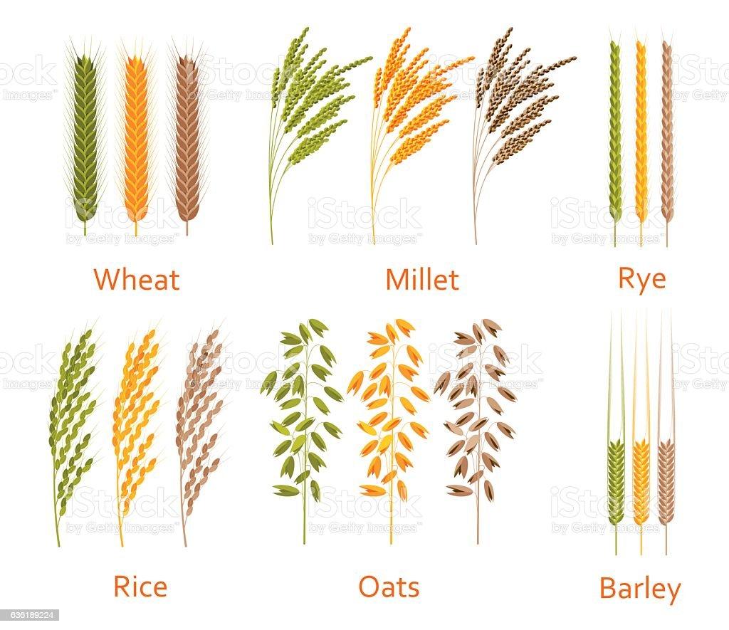 Cereals plants set. Carbohydrates sources.  Colorful vector illustration. vector art illustration