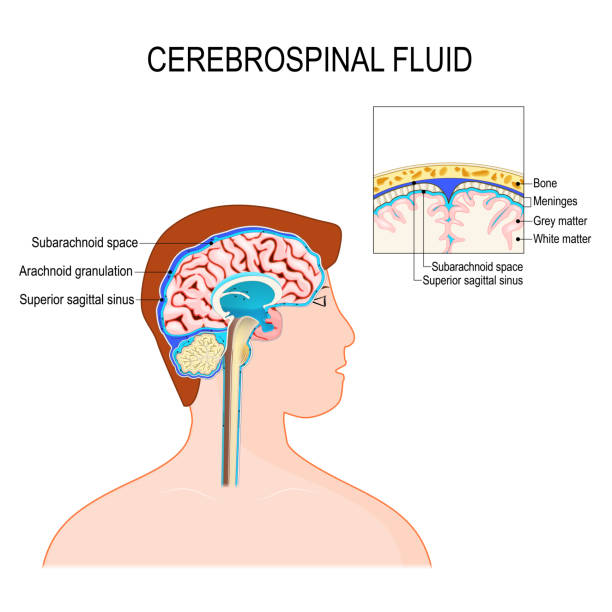 Cerebrospinal fluid (CSF) is a clear fluid in the brain and spinal cord. Cerebrospinal fluid (CSF) is a clear fluid in the brain and spinal cord. immunological protection to the brain inside the skull. Vector diagram for educational, medical, biological, and scientific use lateral ventricle stock illustrations
