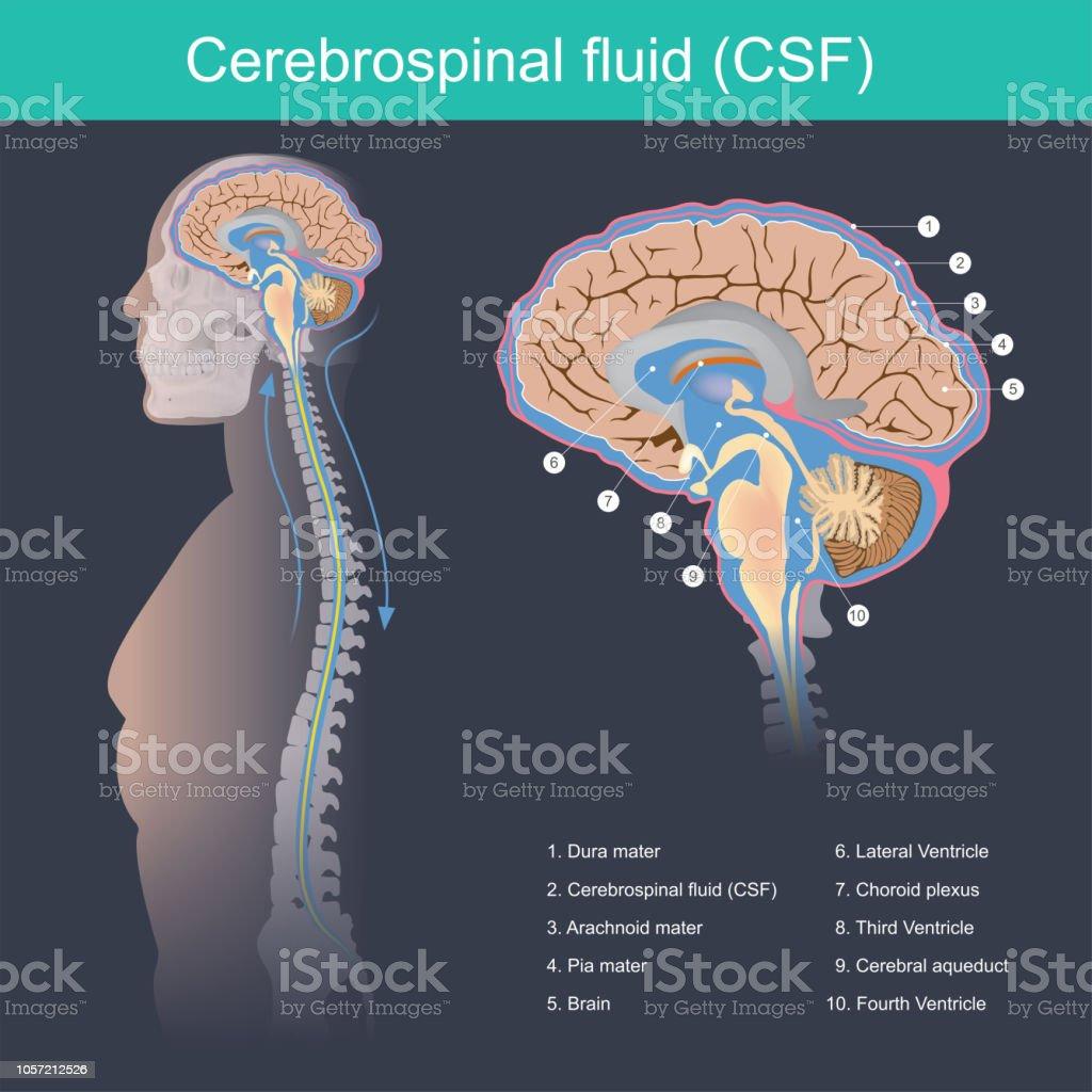 Cerebrospinal fluid vector art illustration