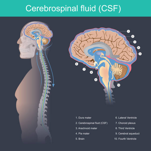 Cerebrospinal fluid Cerebrospinal fluid (CSF) It protects the brain and spinal cord from impact, eliminates waste from the brain and spinal cord, and helps toxins in the blood enter the brain tissue. brain stem stock illustrations