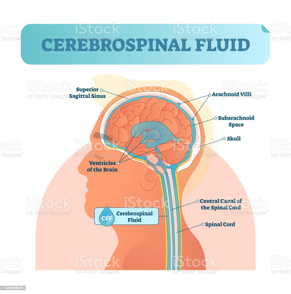 Cerebrospinal fluid vector illustration. Anatomical labeled diagram with human superior sigittal sinus, arachnoid Villi, subarachnoid and spinal cord central canal. vector art illustration
