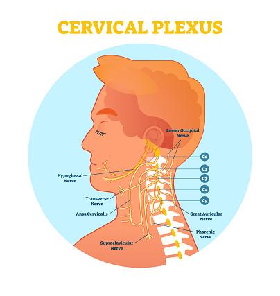 Cervical Plexus Anatomical Nerve Diagram Vector ...