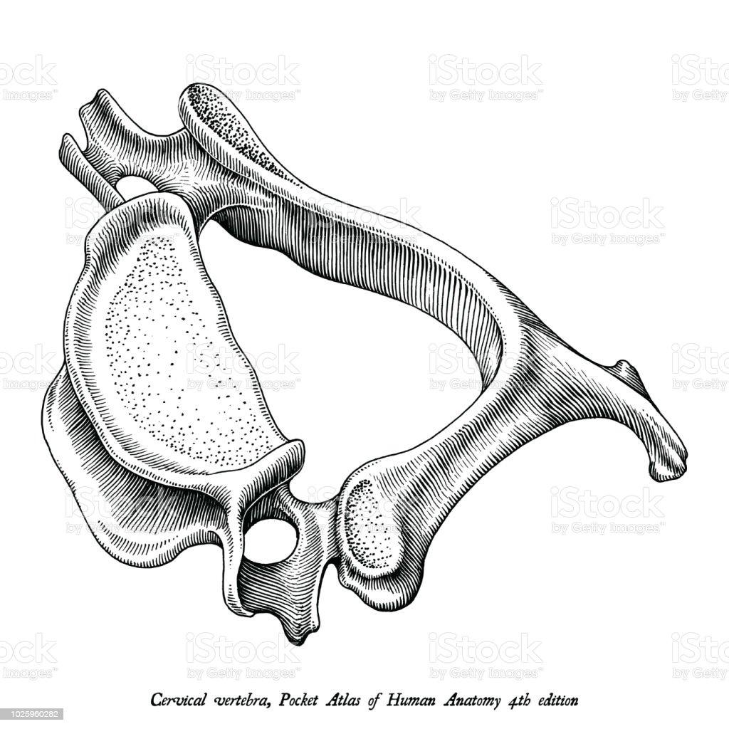Cervical Vertebra Human Anatomy Superior Lateral View Hand Draw