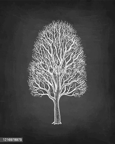 istock Chalk sketch of maple without leaves. 1216978975