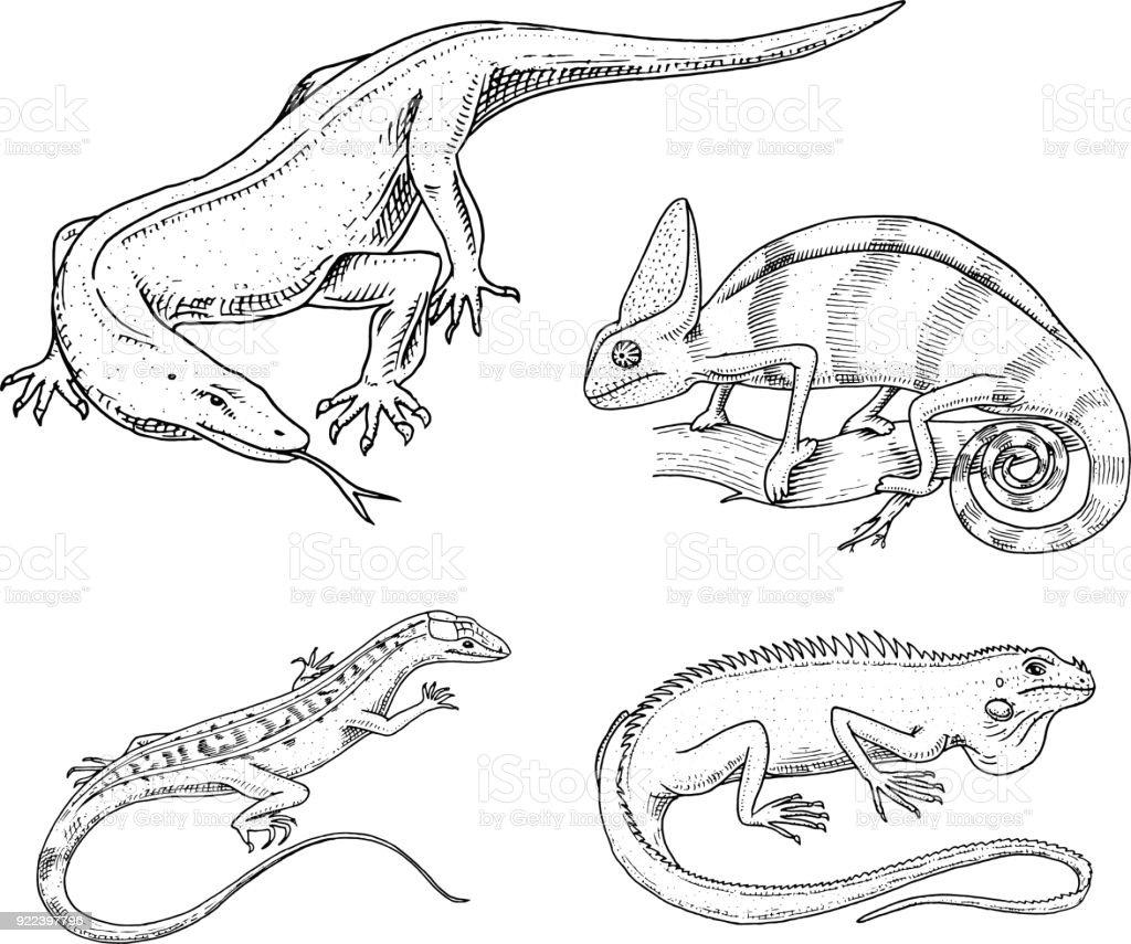 Chameleon Lizard American Green Iguana Reptiles Or Snakes Or Komodo ...