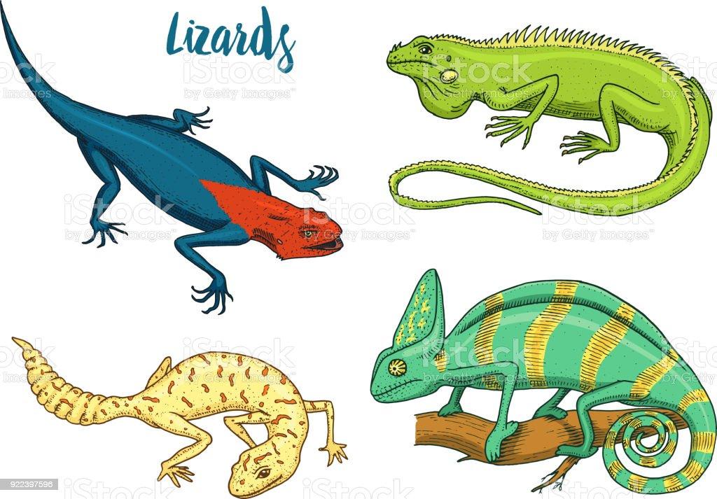 Ilustración de Lagarto Camaleón Iguana Verde Americano Reptiles O ...