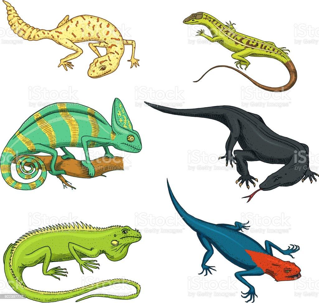 Bukalemun Kertenkele Yeşil Iguana Komodo Ejderi Monitör