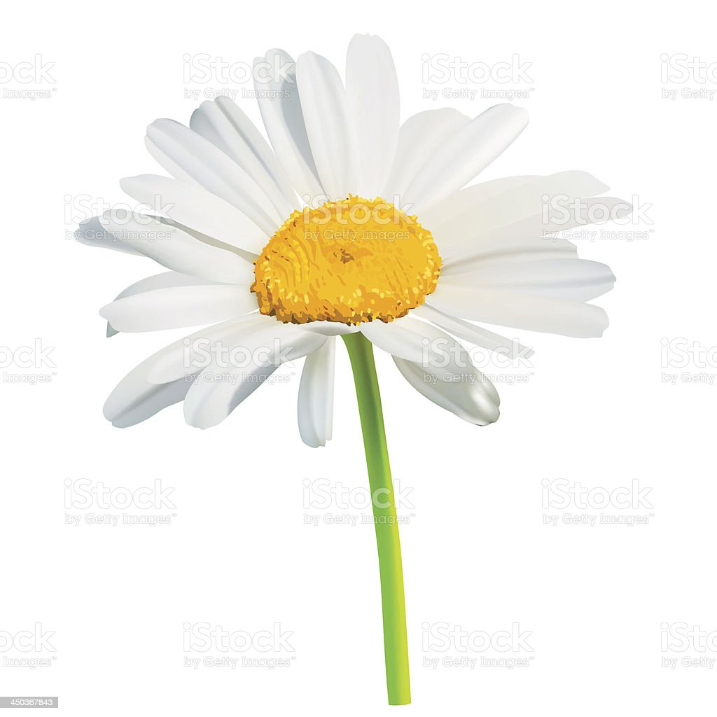 Chamomile flower vector art illustration