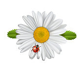 Chamomile flower with ladybird, daisies with good luck charm, Vector illustration isolated on white background,