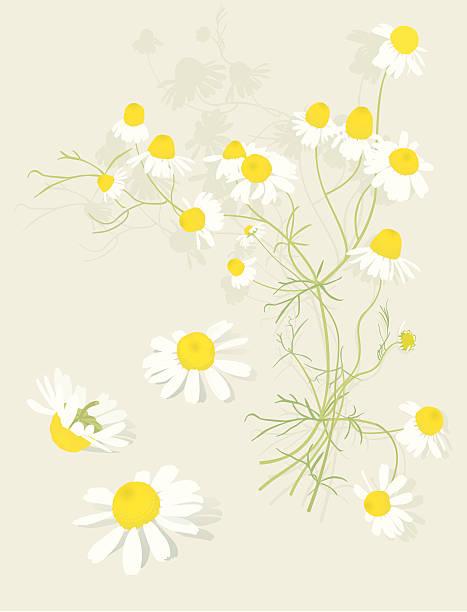 Chamomile Flowers Botanical-Design Elements  chamomile plant stock illustrations