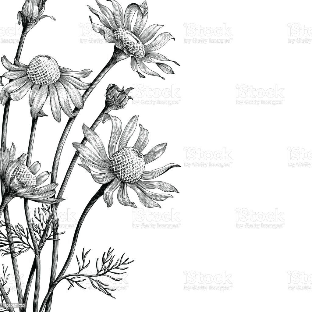 Chamomile flowers hand draw vintage book cover