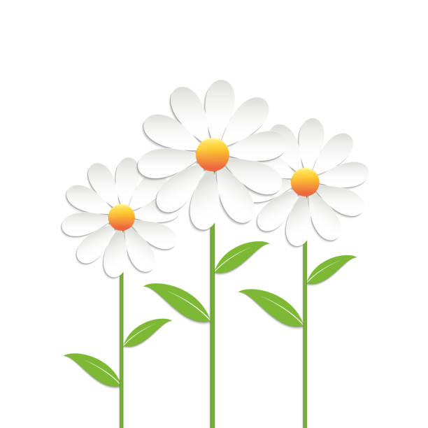 Chamomile flowers Chamomile flowers on white background. Vector illustration. daisy stock illustrations