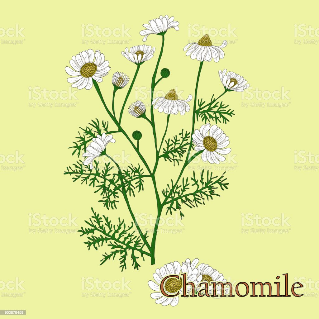 Chamomile illustration of a plant in a vector with flower for use in illustration of a plant in a vector with flower for use in the cooking izmirmasajfo
