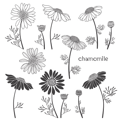 Chamomile, isolated elements for design on a white background.