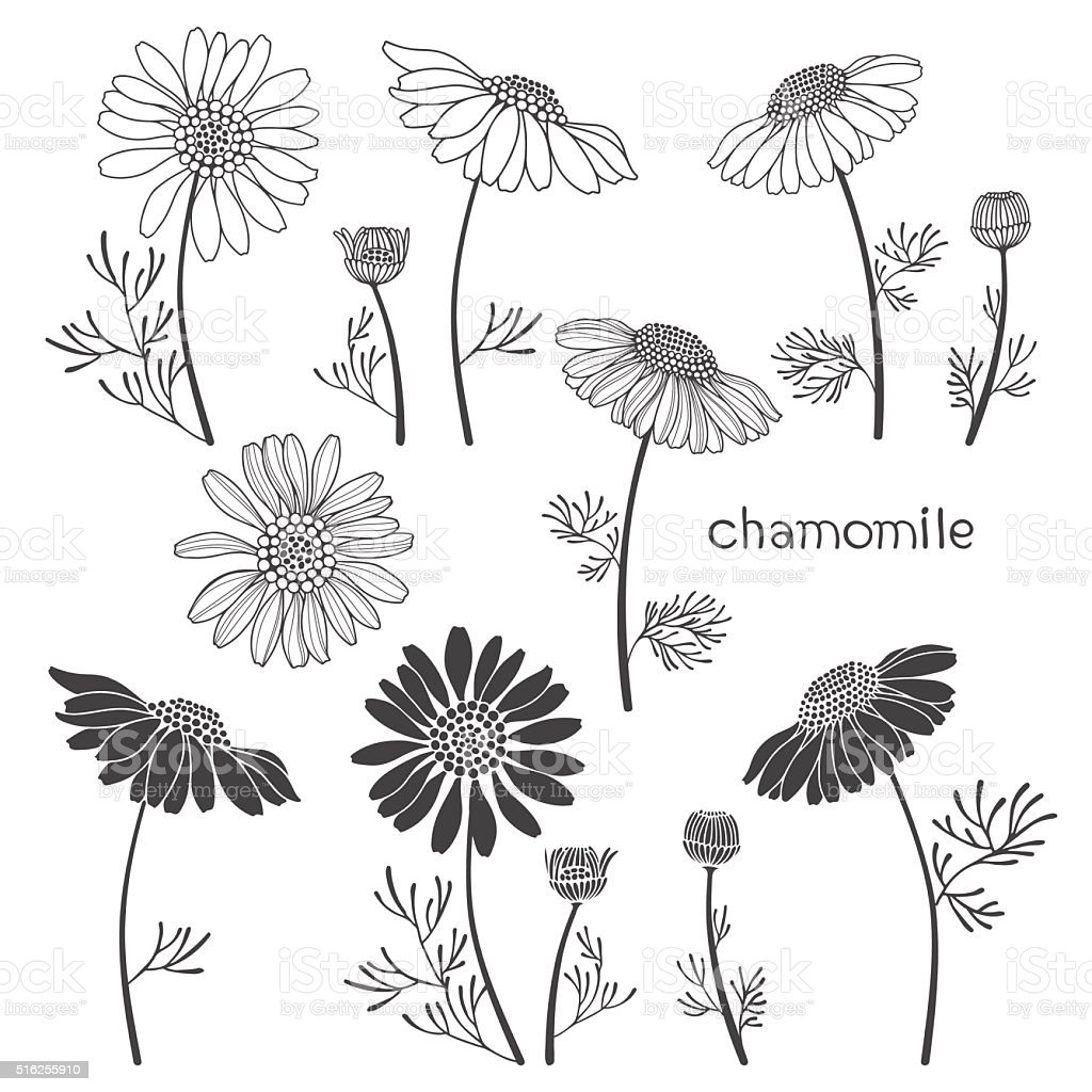 Chamomile, isolated elements for design on a white background. vector art illustration
