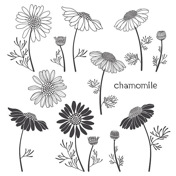 Chamomile, isolated elements for design on a white background. Chamomile. Vector illustration, elements for design. Vector set, hand drawn illustration. daisy stock illustrations