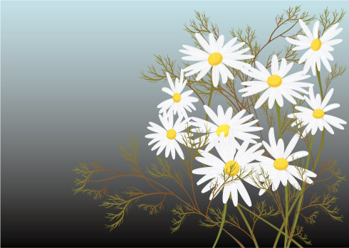 Chamomile Stock Illustration - Download Image Now