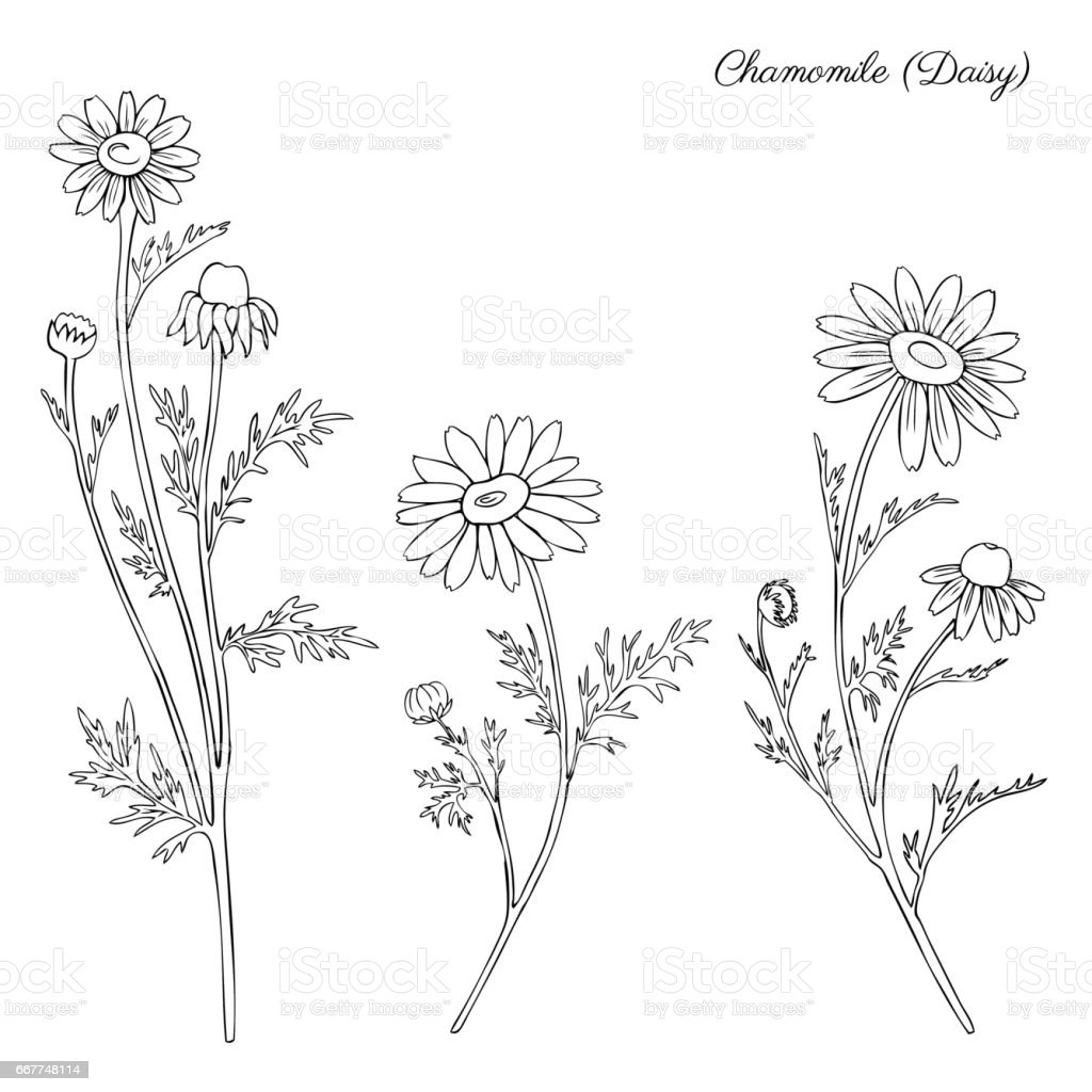 Chamomile wild field flower isolated on white background botanical hand drawn daisy sketch vector doodle illustration for design package tea, organic cosmetic, natural medicine, greeting wedding card vector art illustration
