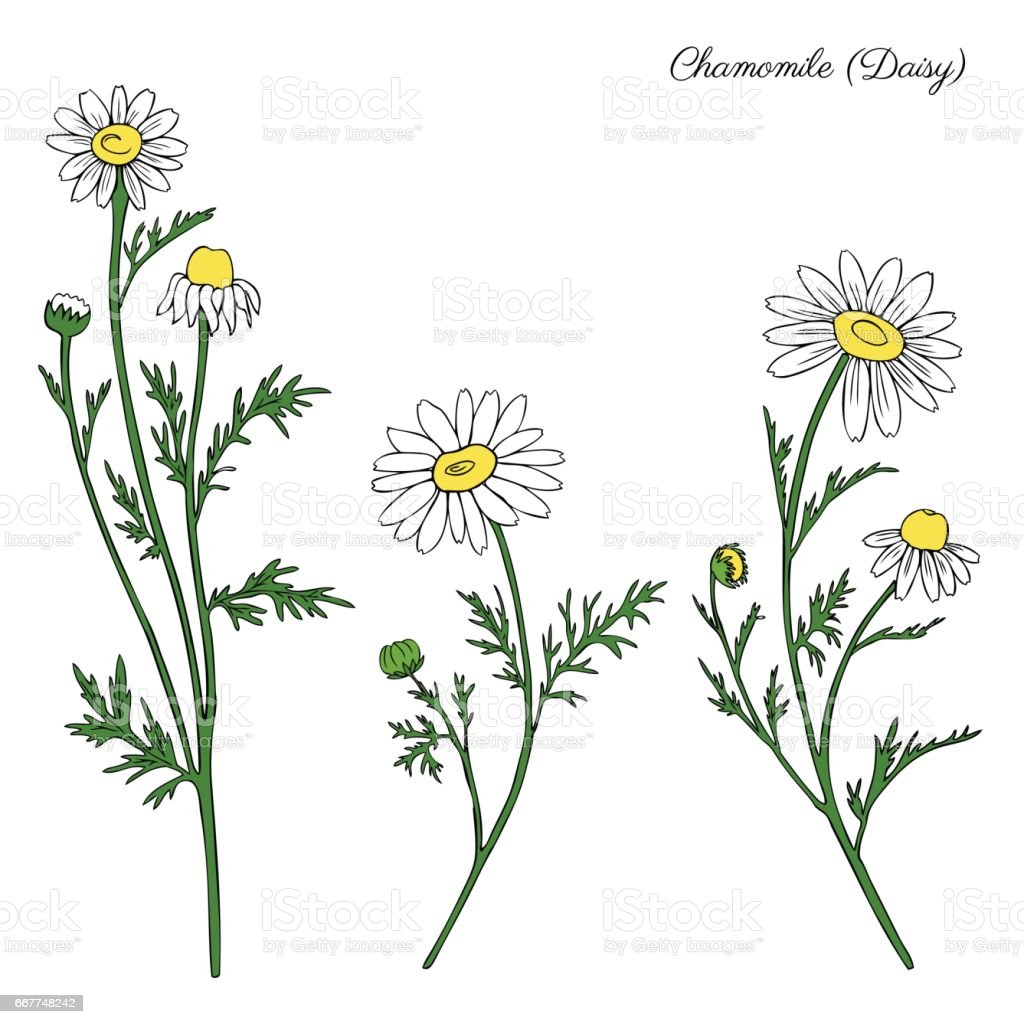 Chamomile wild field flower isolated on white background botanical hand drawn daisy sketch vector doodle illustration for design package tea, organic cosmetic, natural medicine, greeting card wedding vector art illustration