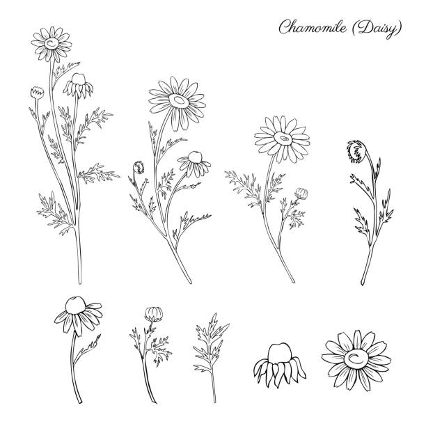 Chamomile wild field flower isolated on white background botanical hand drawn daisy sketch vector doodle illustration for design package tea, organic cosmetic, natural medicine, greeting card Chamomile wild field flower isolated on white background botanical hand drawn daisy sketch vector doodle illustration for design package tea, organic cosmetic, natural medicine, greeting card, wedding chamomile plant stock illustrations