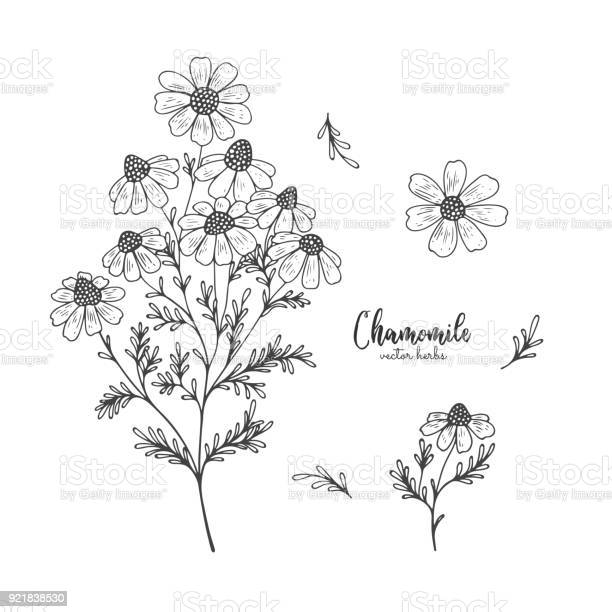 Chamomile wild field flower isolated on white background healing and vector id921838530?b=1&k=6&m=921838530&s=612x612&h=wfxjofech ulgpz5emd3txfy8oldtz49h32out9vqiy=