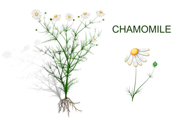 chamomile with inflorescence and roots vector illustration of chamomile with inflorescence and roots chamomile plant stock illustrations