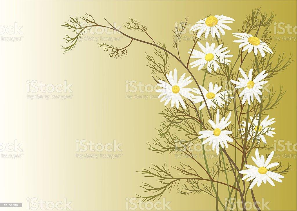 chamomiles vector art illustration