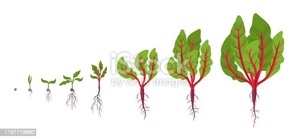 Chard growth stages. Planting of red Chard plant. Vector illustration. Beta vulgaris. Chard taproot life cycle. On white background. Also known as Swiss chard.