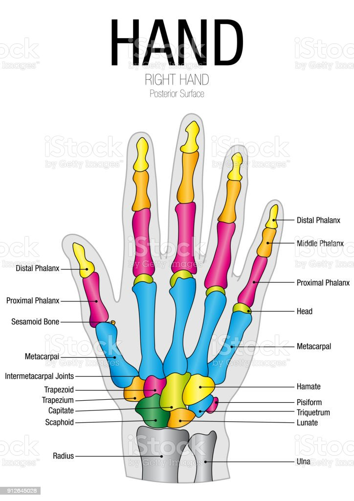 Chart Of Hand Posterior Surface With Parts Name On White Background ...
