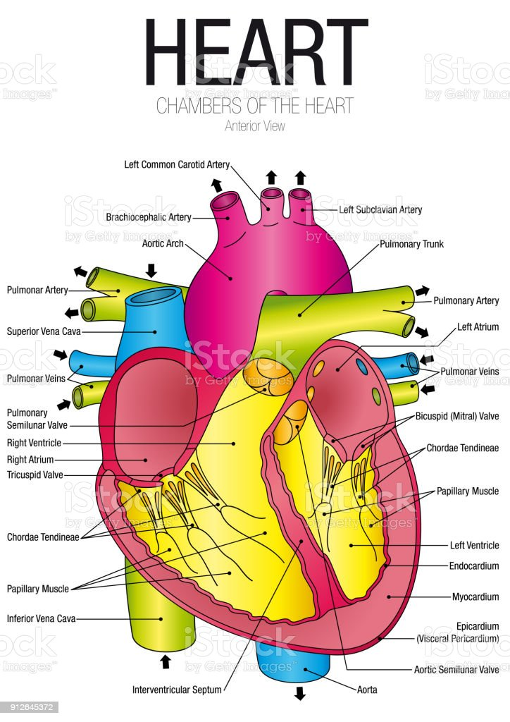 Chart Of Heart Anterior View With Parts Name On White Background