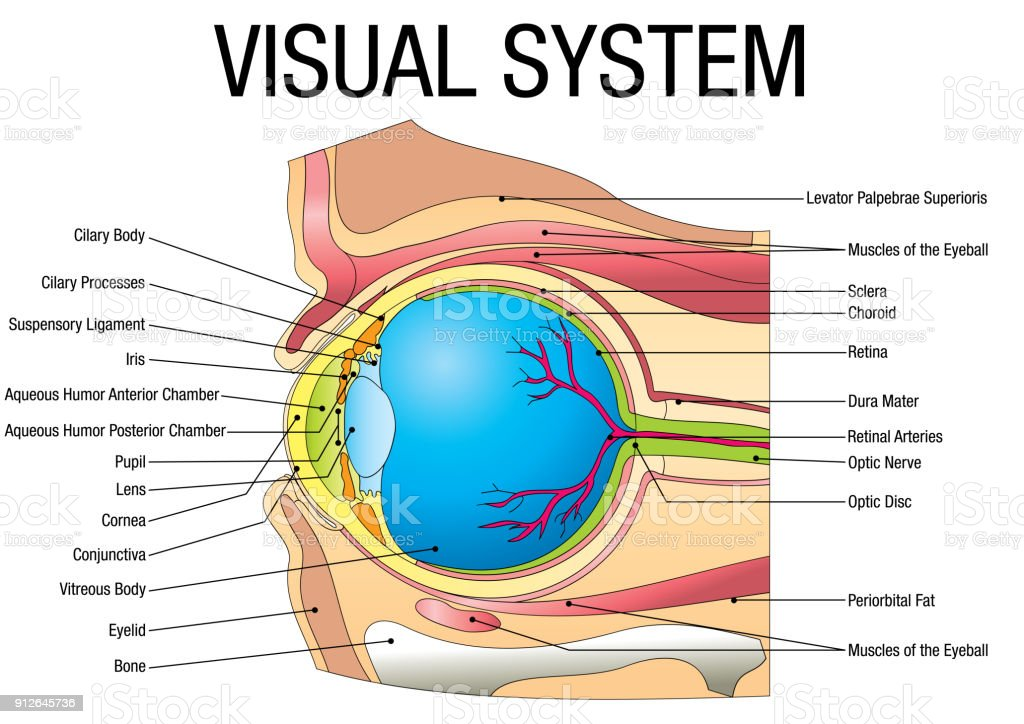 Chart Of Visual System With Parts Name On White Background Stock