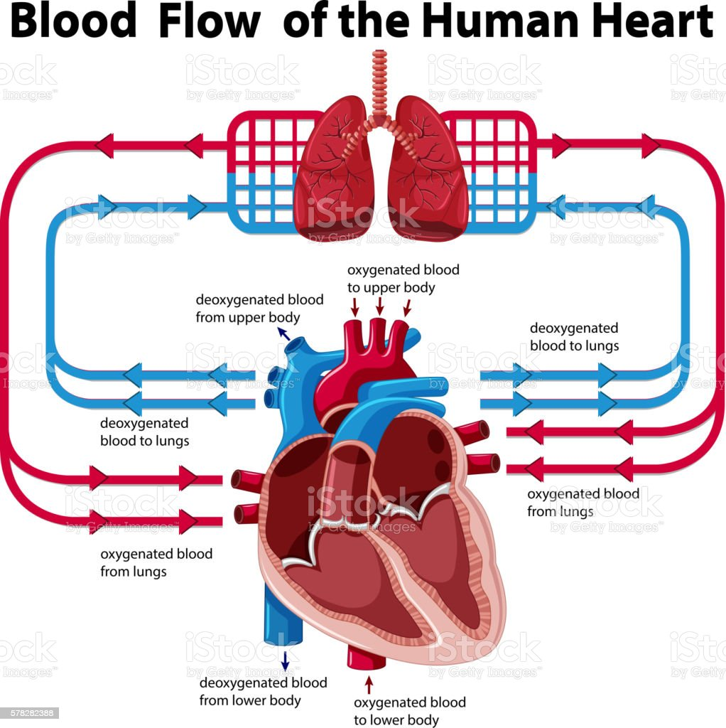 Chart Showing Blood Flow Of Human Heart Stock Vector Art More