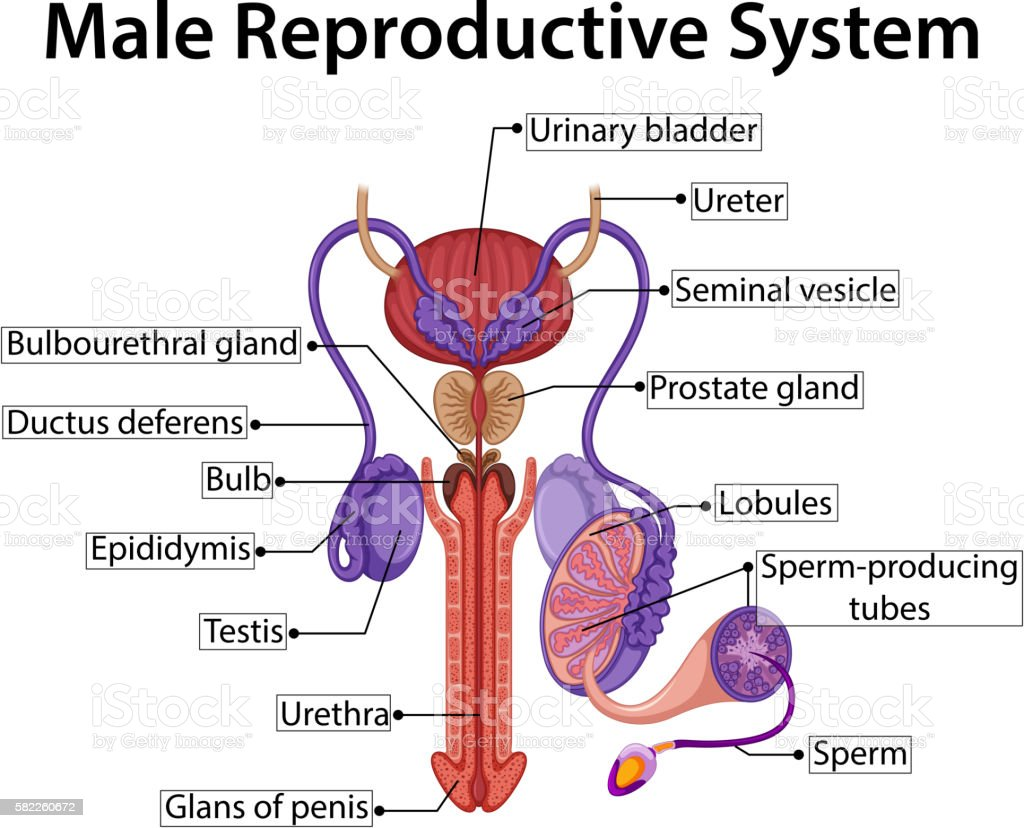 Male Reproductive System Diagram | Chart Showing Male Reproductive System Stock Vektor Art Und Mehr