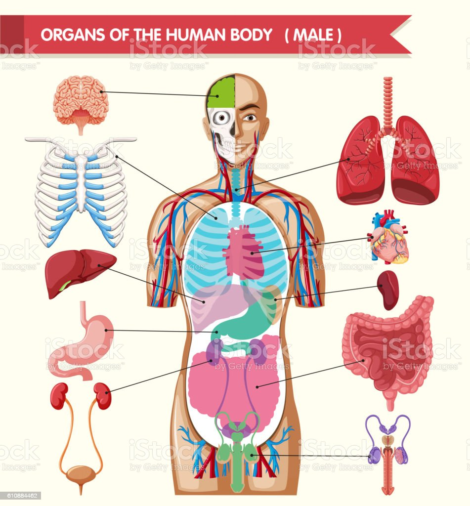 Chart Showing Organs Of Human Body Stock Vector Art & More Images of ...