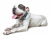 Cheerful Pit Bull Terrier